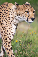 Profile of the female cheetah