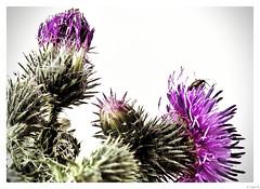 Onopordum acanthium or Scotch thistle