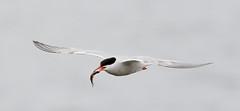 Terns (Sternidae)