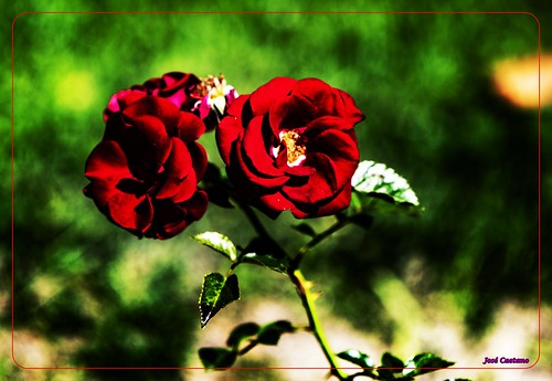 IMG_1803_Red Rose