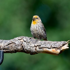 Male Yellow House Finch