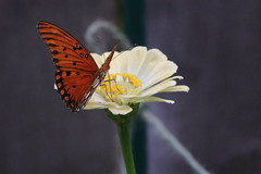 Gulf fritillary or passion butterfly (Agraulis vanillae)