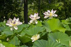 Kenilworth Aquatic Gardens 5 July 2020 (173)
