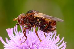 Ferruginous Bee-grabber (Sicus ferrugineus)