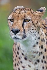 Cheetah looking a bit annoyed
