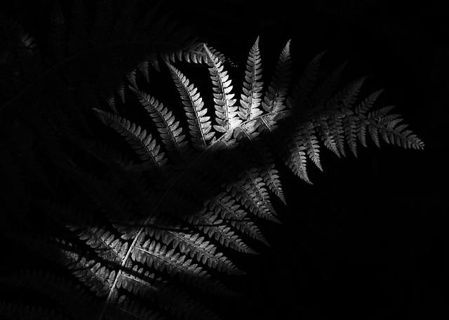 Shadow Fern