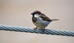Sparrow on the cable