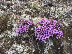 Rødsildre (Saxifraga oppositifolia)
