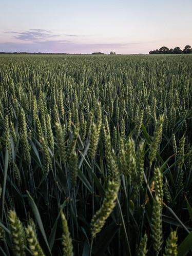 Cereals in Drenthe