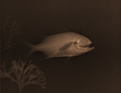 Small Red X-ray Fish