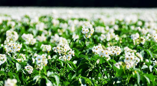 Soy field in bloom