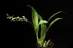 Liparis halconensis (Ames) Ames, Orchidaceae 5: 80 (1915)