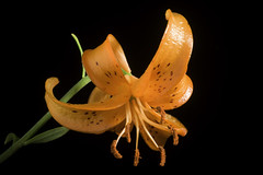 Lilium medeoloides '#200601' A.Gray, Mem. Amer. Acad. Arts, n.s., 6: 415 (1859)