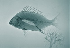 X-ray Fish Large Blue