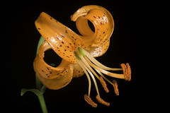 Lilium medeoloides '#200602' A.Gray, Mem. Amer. Acad. Arts, n.s., 6: 415 (1859)
