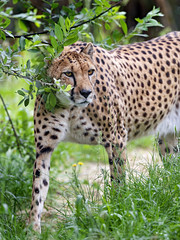 Cheetah freering the tree