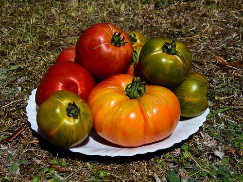 une vraie tomate à du goût