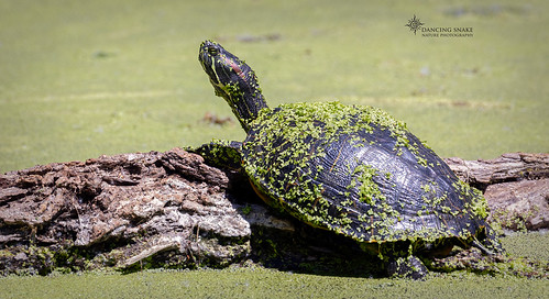 _03A0222 Red-eared Slider ©Dancing Snake Nature Photography