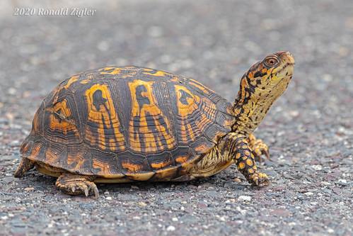 Box Turtle IMG_8926