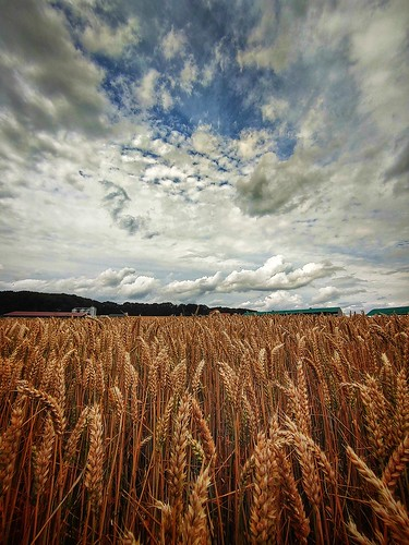 cornfield with clouds