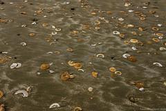 Where all the sand dollars go
