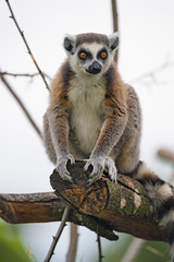 Lemur perched on the log