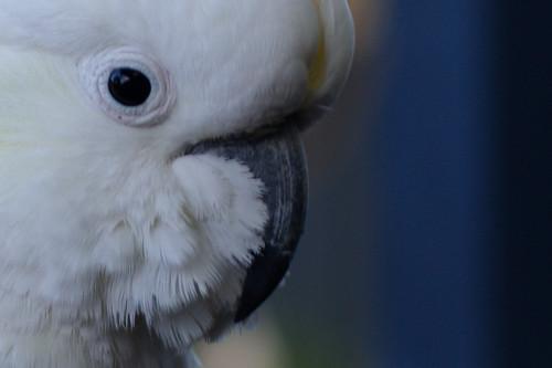 cockatoo - hand held natural light sooc 100% crop