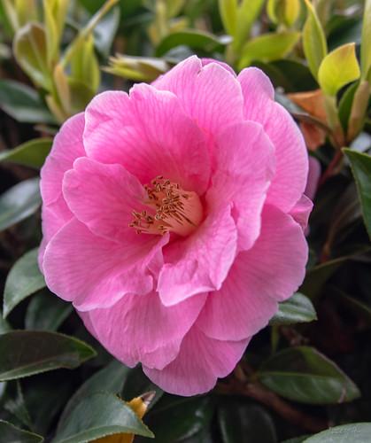 Soft Pink Blush