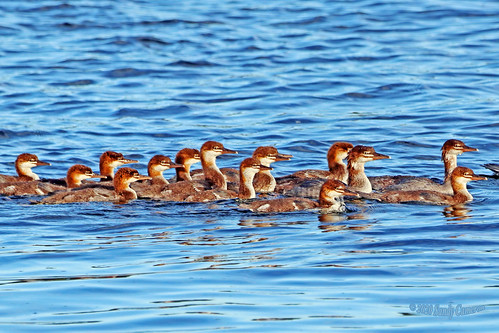 Common Merganser Ducklings 20-0624-8629
