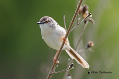 A Plain Prinia on a plant stalk