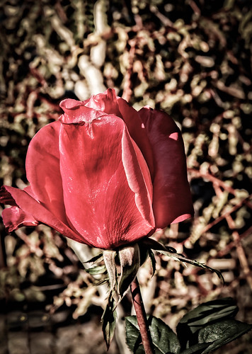 Vignetted Red Tulip