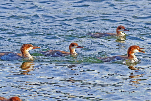 Common Merganser Ducklings 20-0624-8757