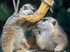 Two meerkats and a banana II