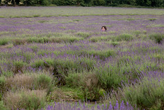 2020 Mayfield Lavender Farm