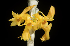Dendrobium tiongii Cootes, Austral. Orchid Rev. 75(5): 58 (2010)