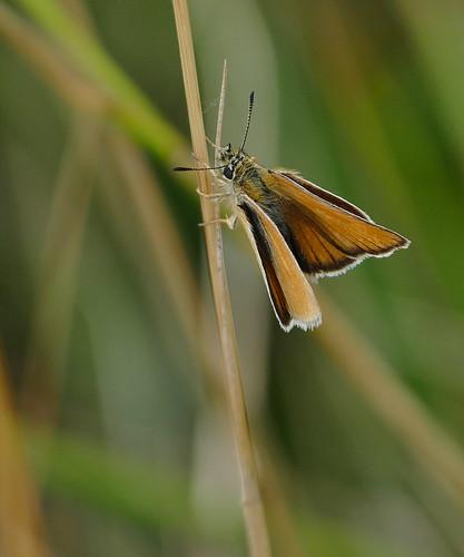 Schwarzkolbiger Braun-Dickkopffalter (Thymelicus lineola)