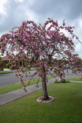 Wonderful Old Cherry Blossom Tree