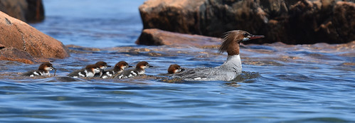 Common merganser (Mergus merganser), Marquette Michigan