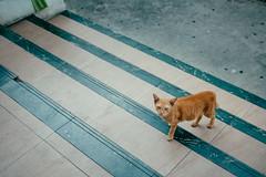 Temple Cat, Bangkok 2018