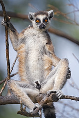 Male lemur sitting on a tree