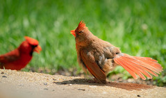 Fluffy Female Cardinal Hanging Out With Her Mate