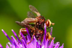 Ferruginous Bee-grabbers (Sicus ferrugineus)