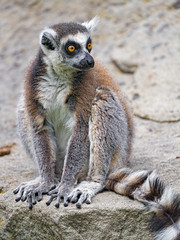 Lemur posing on the stone