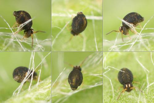 Sminthurinus sp. female