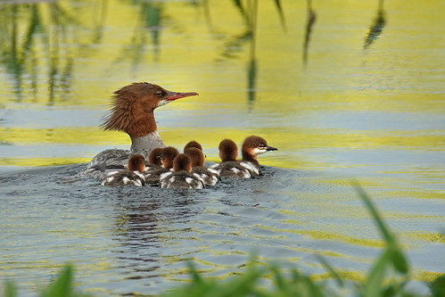 Merganser with ducklings