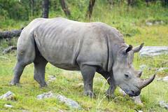 Rhinoceros walking in the grass