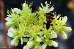 014479 - Flor e insecto