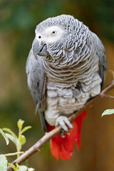 African gray parrot perched