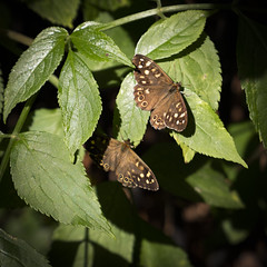 Speckled Wood Butterflies, Clissold Park