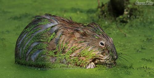 AYCE Duckweed